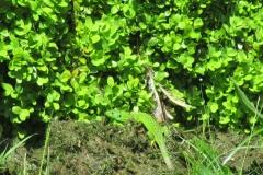 Lezard vert