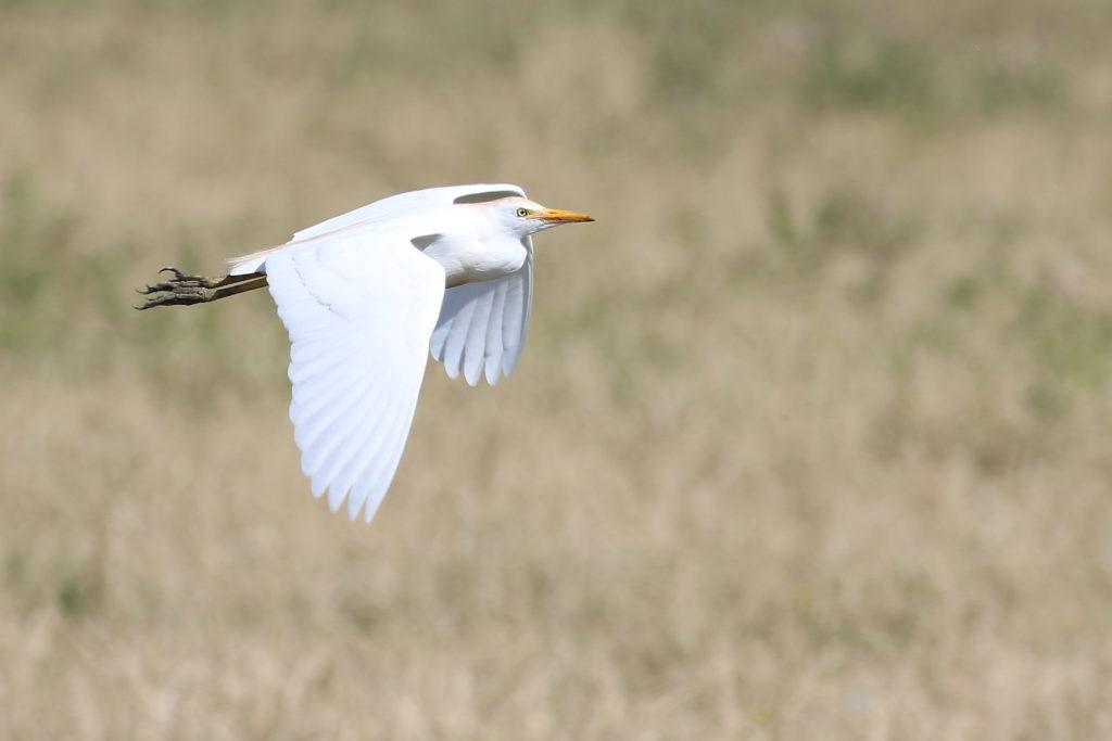 Heron garde-boeuf 1